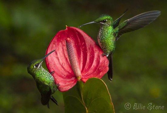Bosque de Paz: Resident hummingbirds