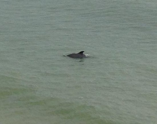 Holiday Inn Hotel & Suites Clearwater Beach: Saw a dolphin from my balcony!