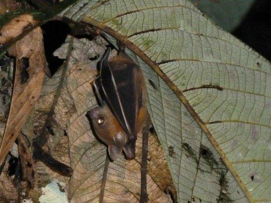 Tungog Rainforest Eco Camp : Bat on night walk