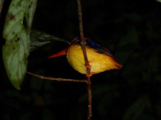 Tungog Rainforest Eco Camp : Blackbacked kingfisher seen on night walk