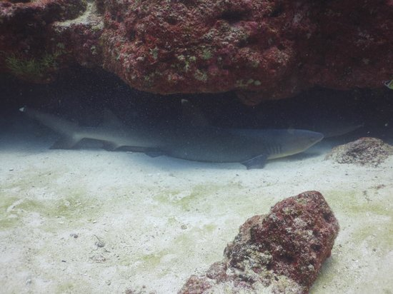 Eagleray Tours: Tiburon punta blanca