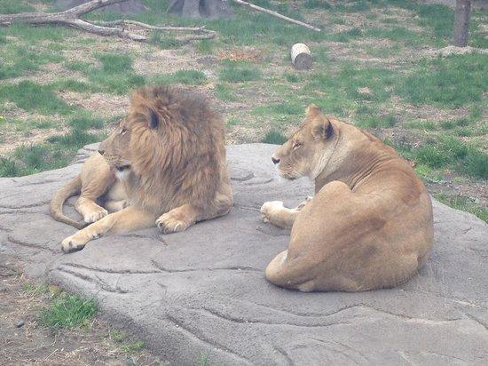 Detroit Zoo: Lions