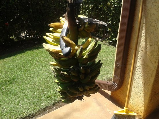 Hale Huanani Bed and Breakfast: Free, fresh bananas