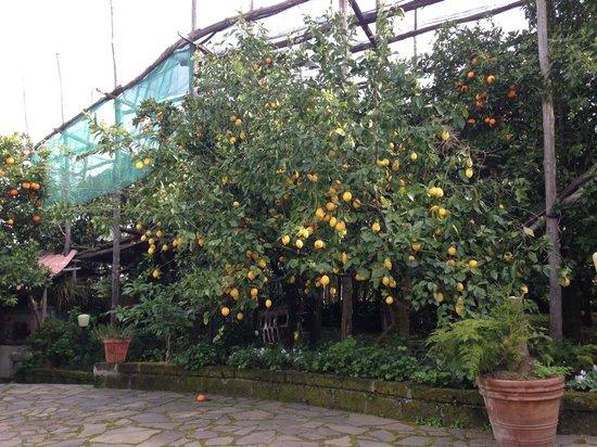 Villa Maresca: Lemon Grove
