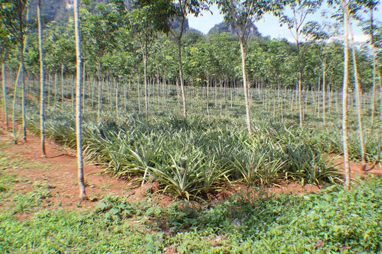 Tiger Cave Temple (Wat Tham Suea) : Pineapple fields along the route that our cabbie stopped to show us