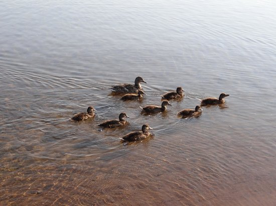 Sugar Beach Resort Hotel : Lots of cute duck families