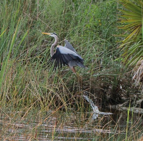 Taking Better Photos Tours: Blue Heron Taking flight in the Florida everglades.