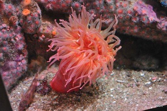 Monterey Bay Aquarium: Sea Anemome