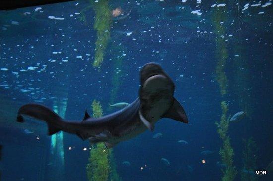 Monterey Bay Aquarium: Shark