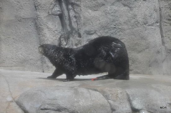 Monterey Bay Aquarium: Otter