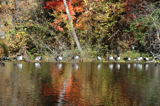 Damascus Old Mill Inn : Ducks and Geese Line up on Mocks Mill Falls