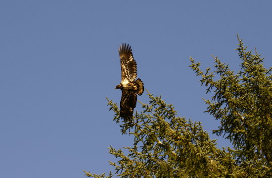 BriMar Bed and Breakfast: Golden Speckled Eagle