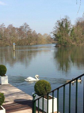 Waterside Inn: Envious swans