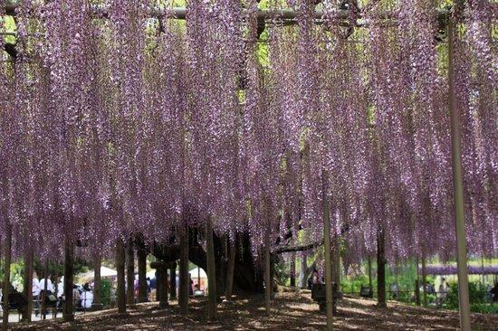 Ashikaga, Japonya: フジのカーテン