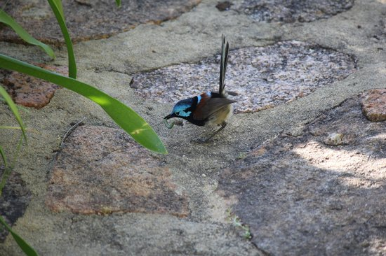 Waterfall Cottages: Blue wren visitng the cottage