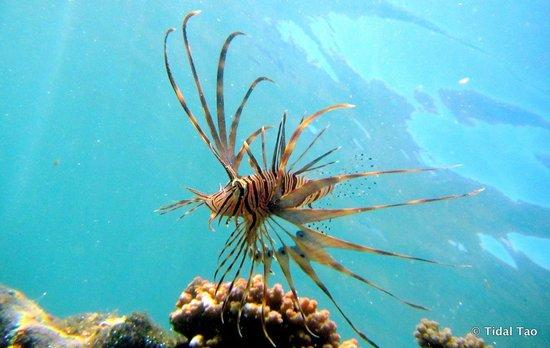 Tidal Tao Snorkeling Safaris: Firefish