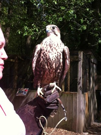 The Raptors: A peregrine falcon