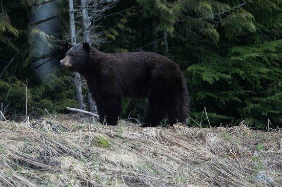 Landsea Tours and Adventures : a black bear through the bus window