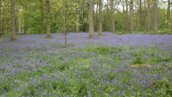 Blickling Estate: Blickling bluebell woods norfolk