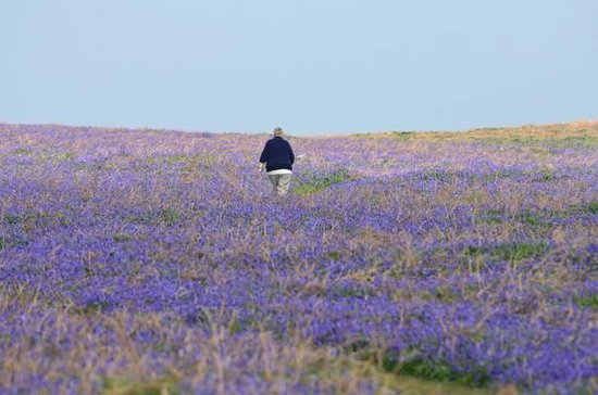 Barley Villa Farm: May display of bluebells on Skomer Island