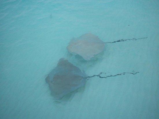 Kuramathi Island Resort : Mantas