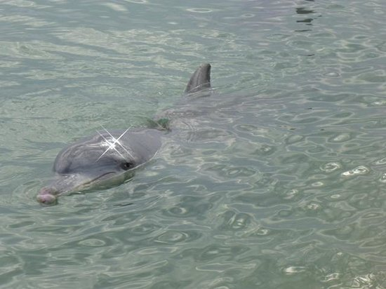 RAC Monkey Mia Dolphin Resort: Dolphins visit the beach daily
