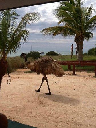 RAC Monkey Mia Dolphin Resort: Emus in the caravan park