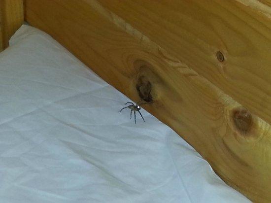 Camping-Bungalow la Vall de Campmajor: No era la única Araña en la habitación... veis el tamaño?
