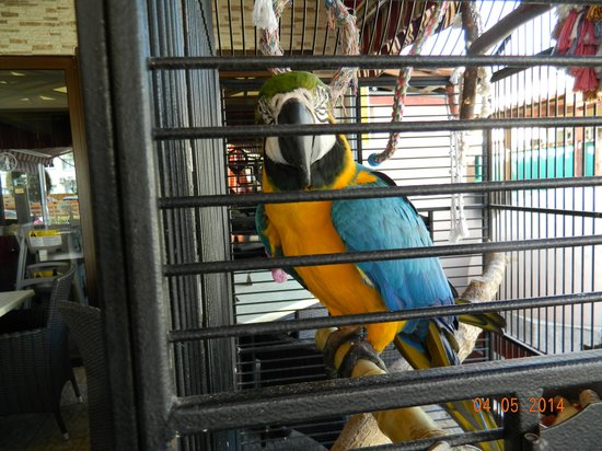 Pambis Diner: Pambis parrot