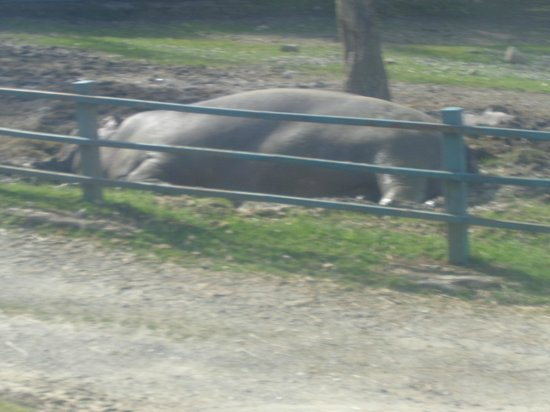 Safari Park: l'ippopotamo
