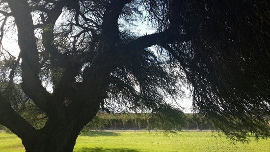 Altalaluna Hotel Boutique & Spa : This awe inspiring Algarobo tree is 300 years old. They grace the property.