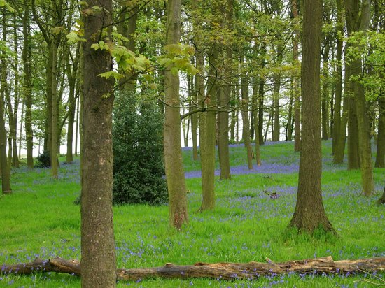 The Wortley Arms: bluebells in the area