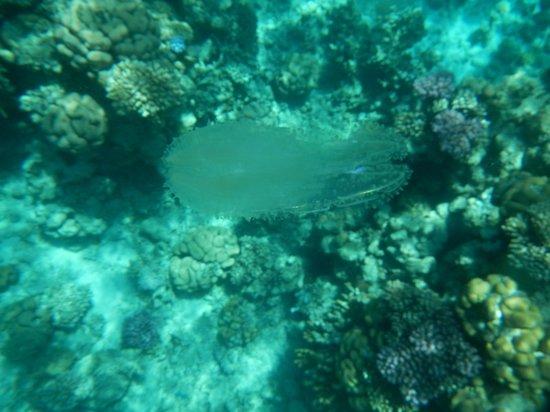 Hyatt Regency Sharm El Sheikh Resort : медузы