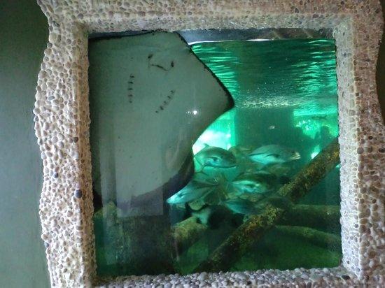 Aracaju Aquarium - Tamar: sorrisinho de arraia :)