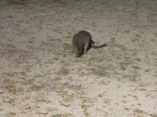 Kangaroo Island Wilderness Retreat : Un piccolo wallaby nel cortile