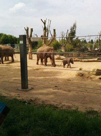 Twycross Zoo : Elephants at twycross