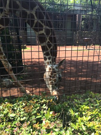 Ueno Zoo: The giraffes are right next to you!