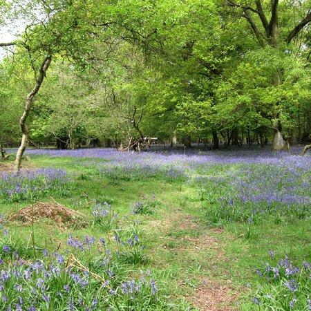 Ashridge Estate: Ashridge bluebell walk May 2014