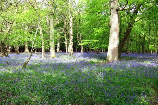 Ashridge Estate: Ashridge bluebell walk May 2014