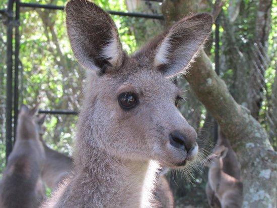 Currumbin Wildlife Sanctuary: カンガルー