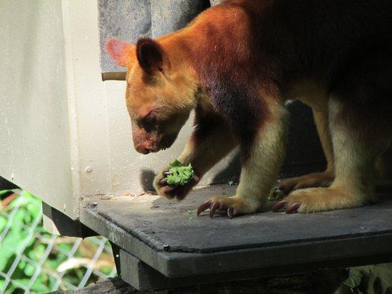 Currumbin Wildlife Sanctuary: 木登りカンガルー