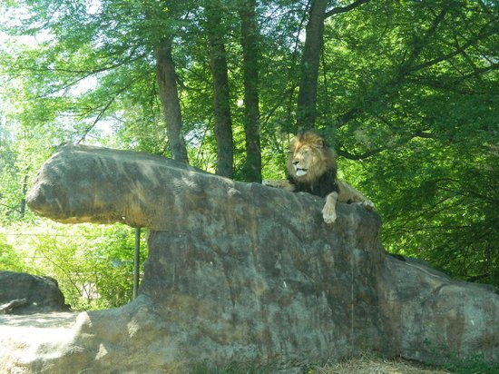 Birmingham Zoo: The KING of the Jungle