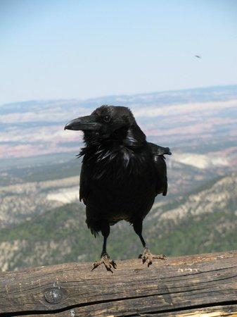 Bryce Canyon Inn: Corbeau Bryce Canyon