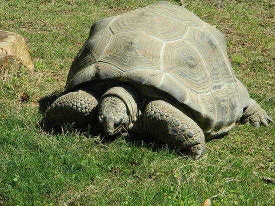Birmingham Zoo: Giant Tortoise