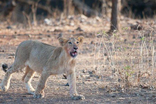 Gir National Park and Wildlife Sanctuary: LION CUB ON MOVE