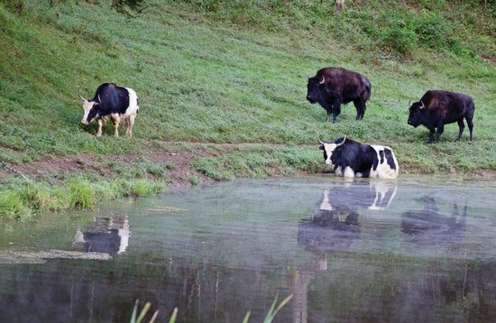 Vonore, TN: Yaks and bison