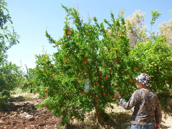 Hotel Mitzpe Hayamim: plantaciones de arboles frutales organicos