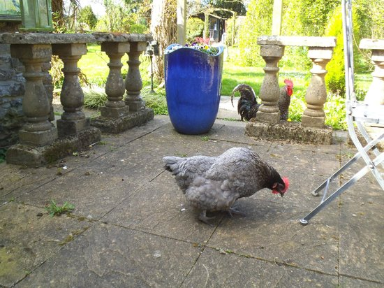 Potting Shed Holidays: The local fowl