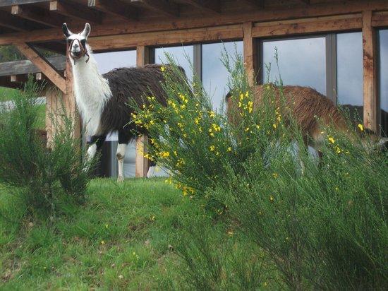 Le Clos des Chenaies : lamas au pied d'un gite