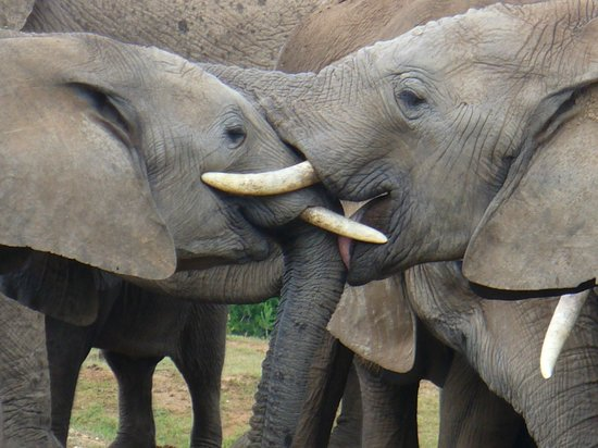 Addo Elephant National Park: Elephants giving kisses to each other